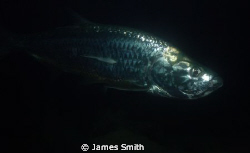 Tarpon in Bonaire  Nikon S7100, Ikelite AF 35 strobe, Wid... by James Smith 